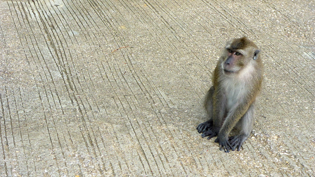 monkey in the middle of the street