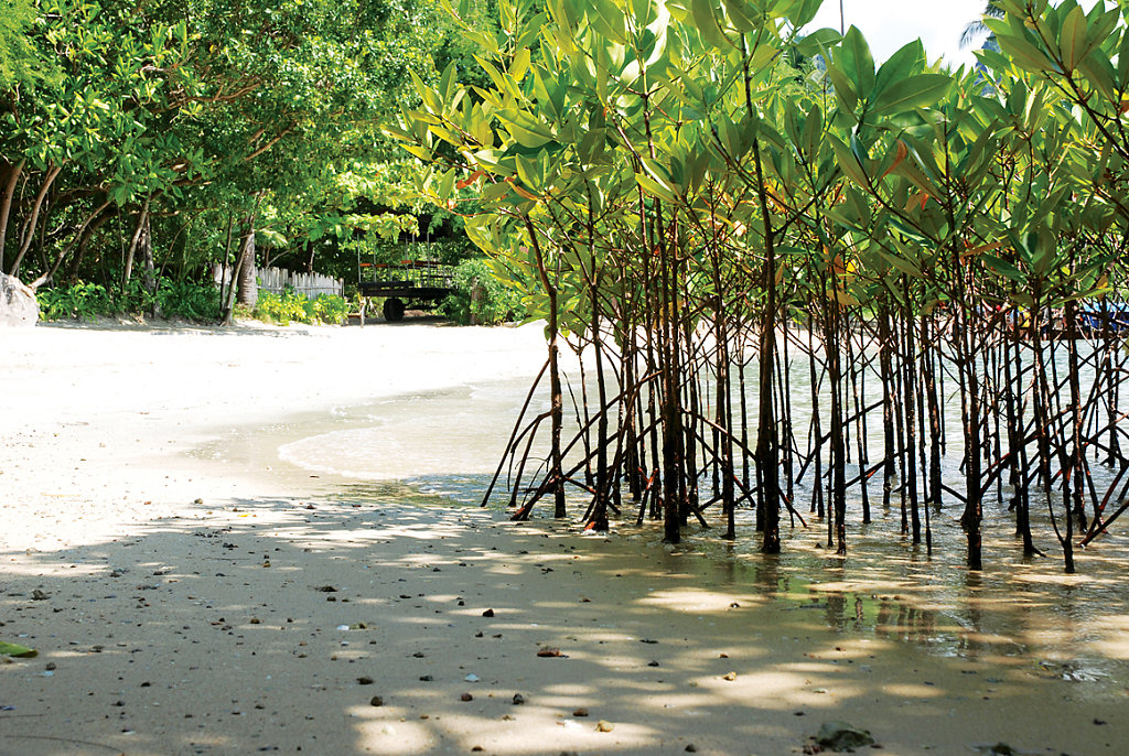 mangrove kindergarden